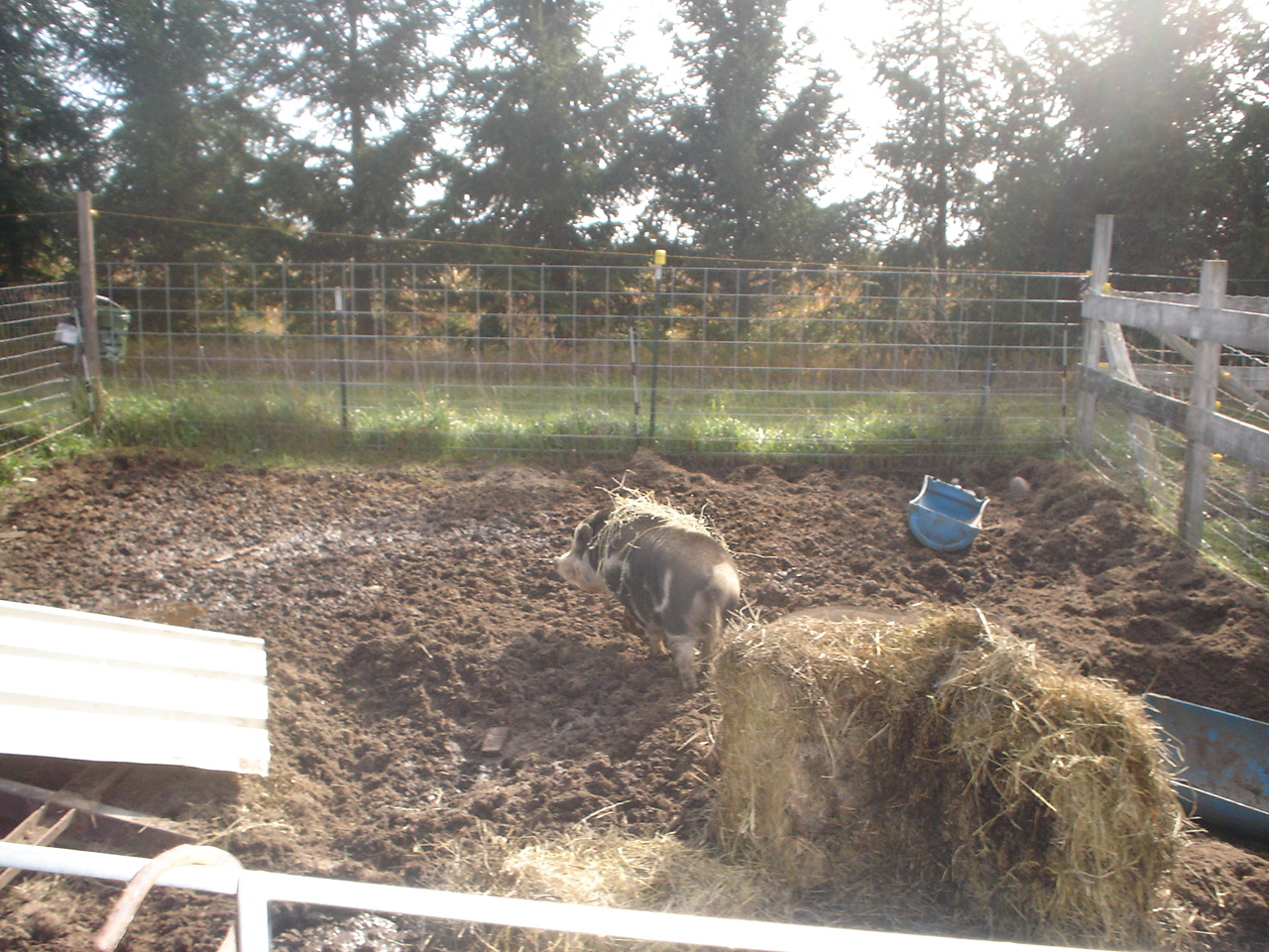 The pig pen (and the compost pile)